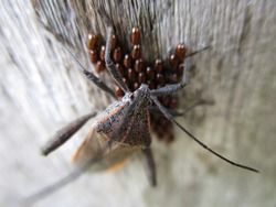 Leaf-footed bugs guard eggs on wooden planks during the breeding season