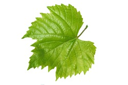 leaf from the vine isolated on a white background