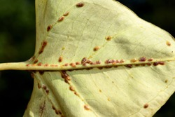 Leaf heavily infested by scale insects coccoidea