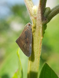Leaf hopper injure on citrus and guava in Viet Nam