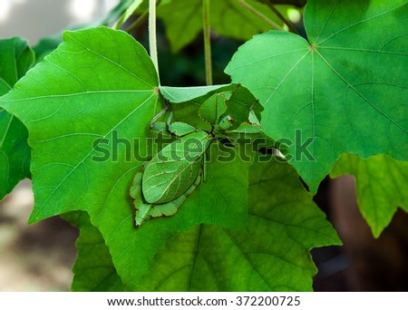 Leaf Insect #372200725