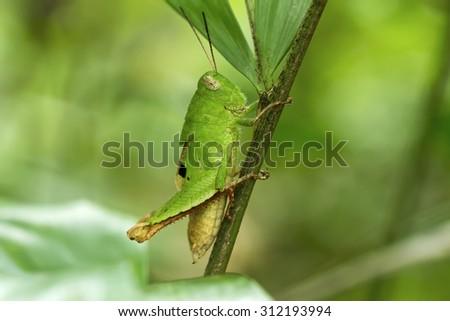 Leaf Insect,Grasshopper,Parablepharis kuhlii #312193994
