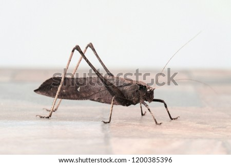 Leaf Insect ,grown grasshopper on floor with white background