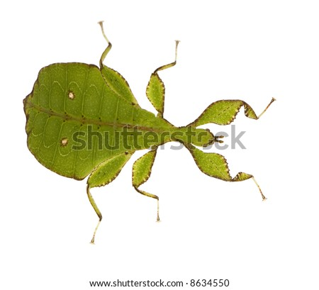 leaf insect, Phylliidae - Phyllium sp in front of a white backgroung