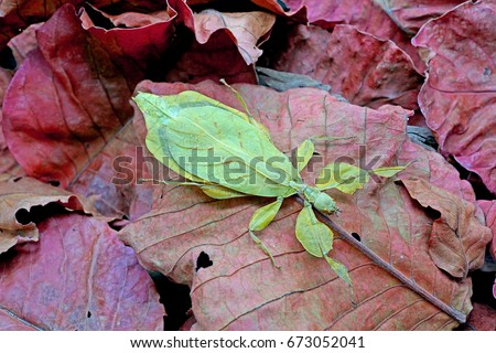 Leaf insect : Phyllium bioculatum , green leaf insect on red autumn leaves , excotic , rare and protected #673052041