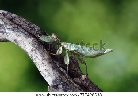 Leaf insect (Phyllium bioculatum) Green leaf insect or Walking leaves are camouflaged to take on the appearance of leaves, rare and protected. Selective focus, blurred green background. #777498538