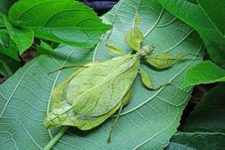 Leaf Insect : Phyllium sicipholium