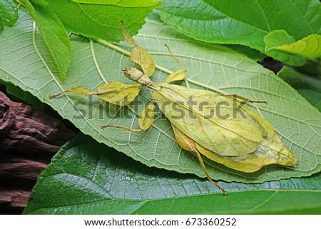 Leaf Insect : Phyllium sicipholium - Green Leaf #673360252