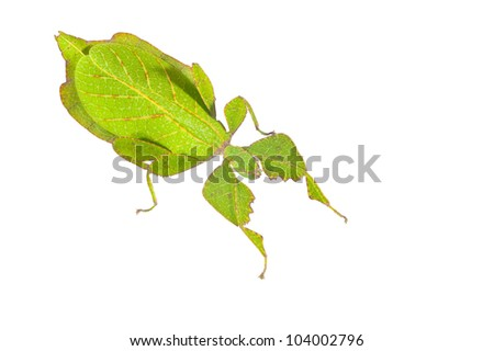 Leaf insects. #104002796