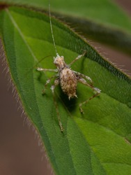 Leaf Katydid Nymph of the Subfamily Phaneropterinae