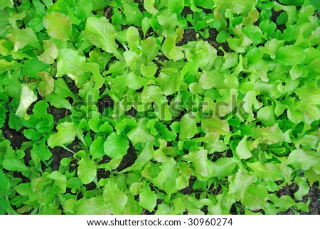 leaf lettuce in the garden