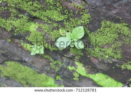 Leaf / Natural