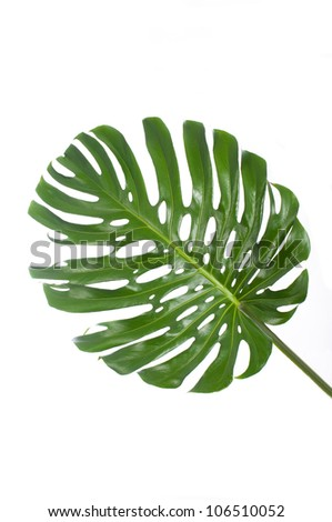 leaf of a big monstera in white background