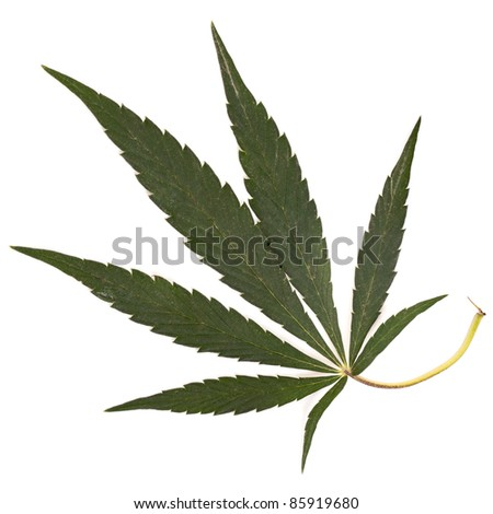 Leaf of a Cannabis plant