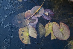 Leaf of a lily in a frozen pond