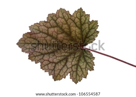 Leaf of an Obsidian Coral Bells (Heuchera) flower on white