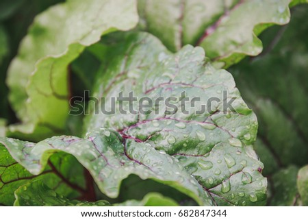 Leaf of beet. Dew on a leaf of beet. Beet grows.