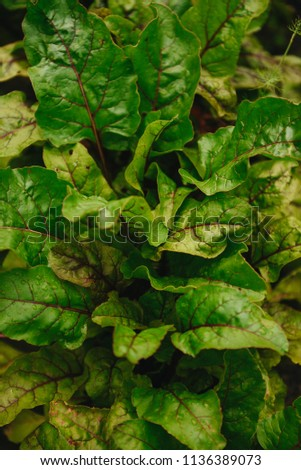 Leaf of beet. Dew on a leaves of beet. Row of green young beet leaves. Close up of beet leaves growing on a bed in the garden.