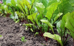 Leaf of beet root. Fresh green leaves of beetroot or beet root seedling. Row of green young beet leaves growth in organic farm. Closeup beetroot leaves growing on garden bed. Field of beetroot foliage
