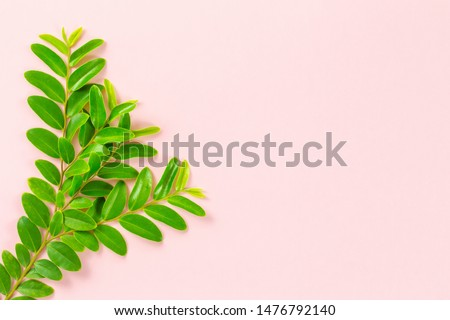 Leaf of black ebony tree on pink background with space.