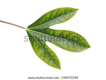 Leaf of Dendropanax trifidus