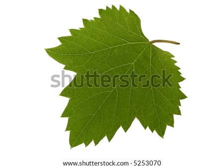 Leaf of grapevine - isolated