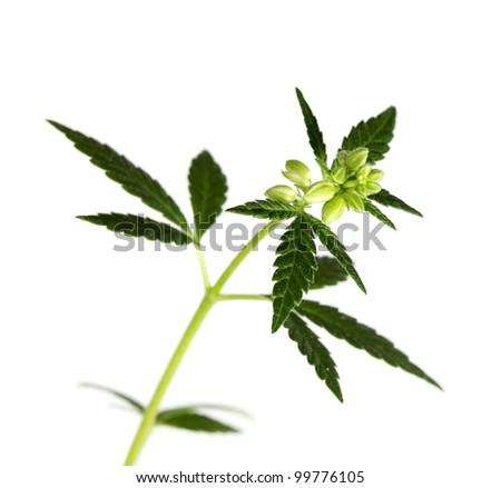 Leaf of hemp on white background (isolated)