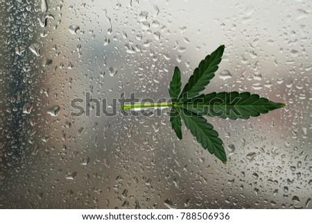 leaf of marijuana Hemp stuck adhered to a wet fogged window glass against the backdrop of the city #788506936