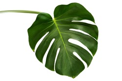 Leaf of Monstera plant.