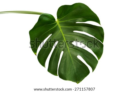 Leaf of Monstera plant. #271157807