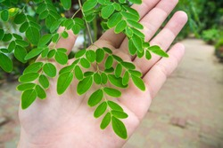 Leaf of Moringa tree (Moringa oleifera) on the hand
