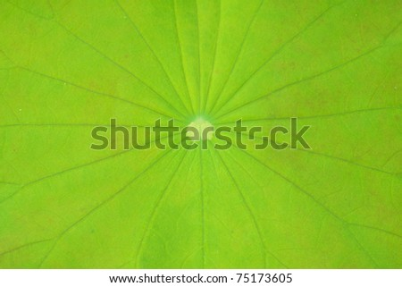 leaf of water lily, texture
