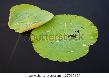Leaf of waterlily on the dark backgroung