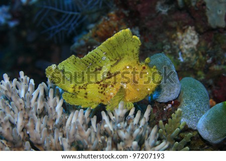 Leaf scorpionfish in the tropical reef