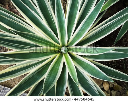 Leaf - sharp blade shape with spikes, Green plant growing on desert or arid