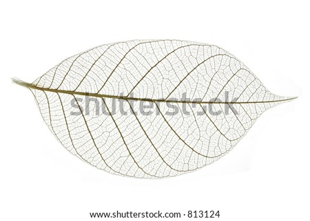Leaf skeleton under pure white lit background - stock photo