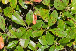 Leaf Spot disease on Indian Hawthorn plant leaves. Condition caused by parasitic fungi or bacteria. Treatable in most cases. Close up full frame image.