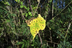 Leaf spot diseases