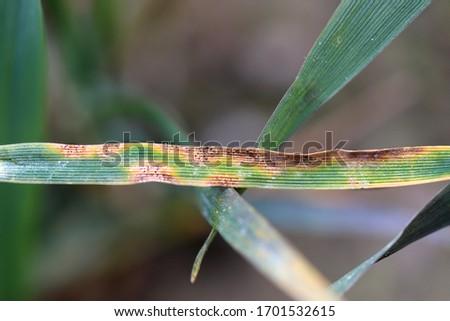 Leaf spot of wheat, septoria leaf blotch, speckled leaf blotch of wheat