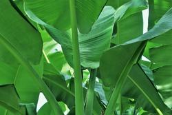leaf stalk fresh green banana tree