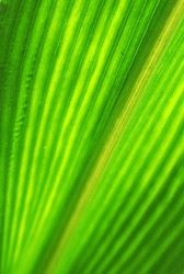 Leaf surface pale yellow-green with diagonal petiole stripes with sunlight hitting the leaves.