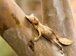 Leaf-tailed Gecko, mimicry, Presumably Uroplatus fimbriatus, Madagascar