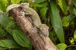 Leaf-tailed Gecko on the tree, Presumably Uroplatus fimbriatus, Madagascar
