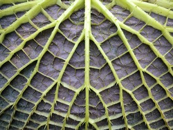 leaf underside with stable construction of victoria water lily