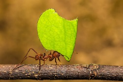 Leafcutter Ant carrying a leaf to its nest