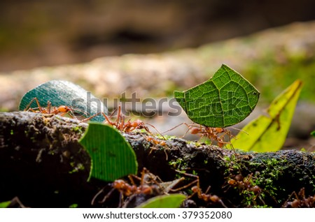 Leafcutter Ants (Atta sp.), Sarapiqui, Costa Rica stock photo