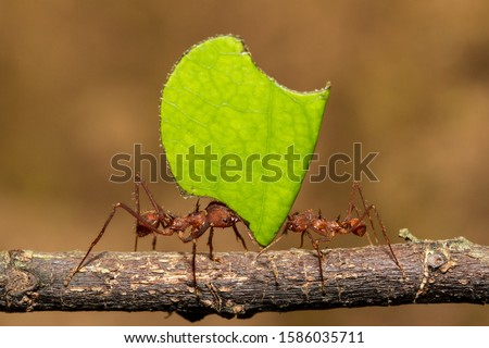 Leafcutter Ants carrying a leaf to their nest stock photo