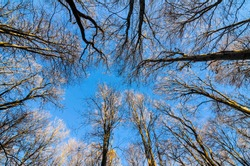Leafless forest trees with sunset light reaching the tops. Leafless trees view from bottom up with blue sky.