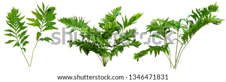 Leafs of braken fern plant isolated on white background. Green shrub. Bush of leafy branches #1346471831