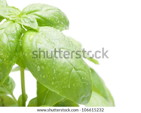 Leafs of Green Fresh Basil on White Background